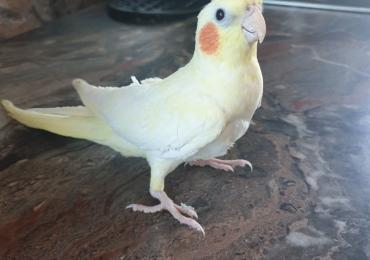 Потерялся попугай в районе  Fama (Fama Keskus)